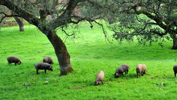 Los cerdos ibéricos se alimentan de bellota y de hierba durante la montanera