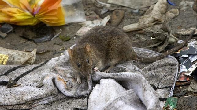 El Ayuntamiento de Madrid recibió 2.840 avisos por avistamiento de ratas en 2014