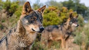 La misteriosa muerte de un lobo en la sierra de Madrid