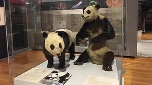 Chu-Lin «reaparece» disecado en el Museo Nacional de Ciencias Naturales