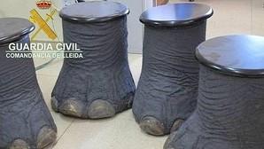 La Guardia Civil interviene en Lérida colmillos y patas de elefante a la venta por Internet