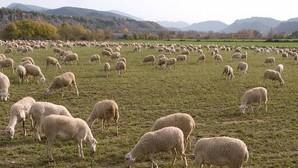Detenido un pastor en Huesca por dejar abandonadas a sus ovejas