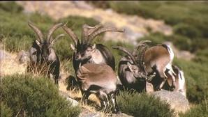 Madrid quiere eliminar 500 cabras en Guadarrama por «superpoblación»
