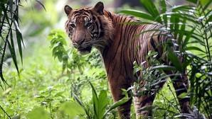 Deja morir al ejemplar de tigre que tenía enjaulado y le arranca la cabeza a modo de trofeo