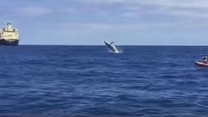 Los saltos de una ballena jorobada maravillan frente al Puerto de Las Palmas
