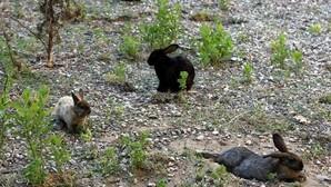 La proliferación de conejos amenaza con deteriorar vías de tren en Madrid