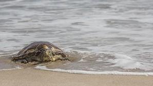 Devuelven al mar en El Saler tres tortugas recuperadas en el Oceanogràfic