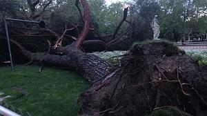 Cae un árbol gigantesco frente a la antigua Casa de Fieras en El Retiro