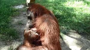 Nace una cría de orangután ante el asombro de los visitantes del Zoo de Madrid