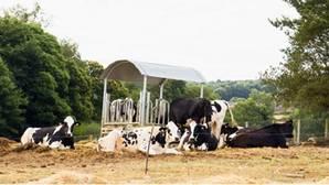 Las mejores vacas del mundo están en Sarria