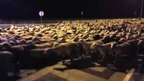 Un pastor se queda dormido y 1.300 ovejas se le van de paseo por las calles de Huesca