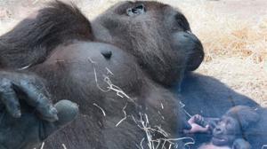 Nace en el Zoo Aquarium de Madrid una nueva cría de gorila