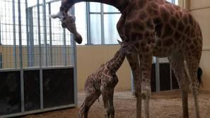 Nace una jirafa en peligro de extinción en el Zoo de Barcelona