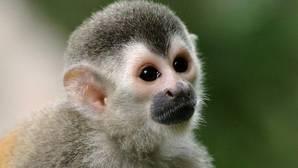 Un mono Tití se cuela en una casa de Albacete