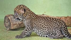 Vídeo: así es el nacimiento de un leopardo en el Bioparc Valencia