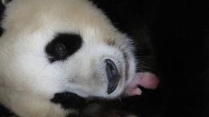 Nace la primera hembra de oso panda gigante en el Zoo de Madrid