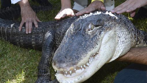 Uno de los cocodrilos que se pueden ver en la Feria de Muestras estos días