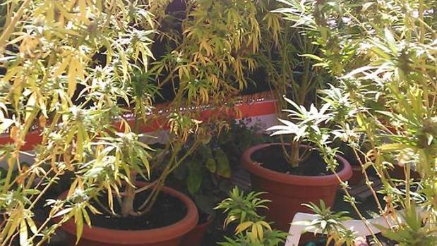 Plantas de marihuana encontradas durante el registro de la casa del detenido