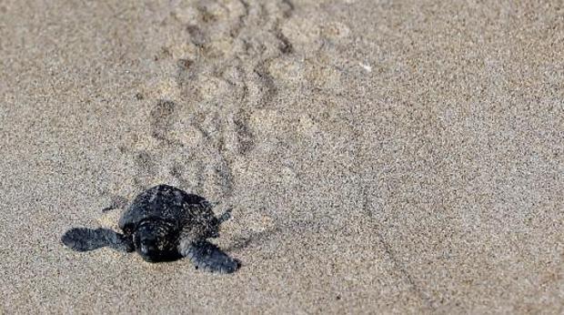 Una de las crías de tortuga boba nacida en El Saler.