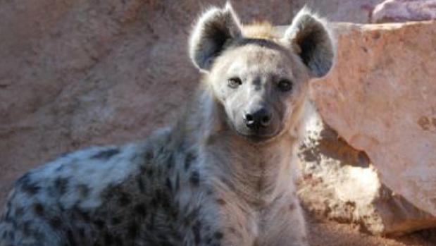 Ejemplar de hiena manchada en Bioparc