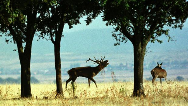 Un ciervo macho berrea en el Parque Nacional de Cabañeros