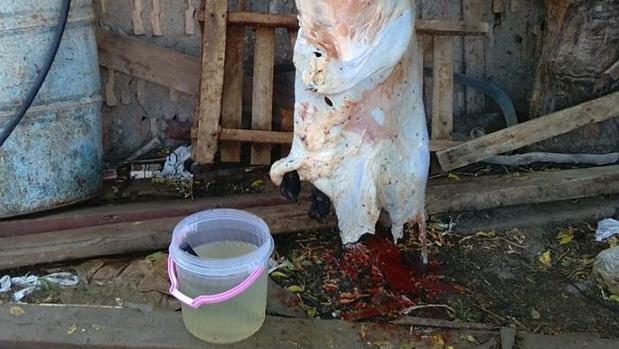 Uno de los corderos sacrificados