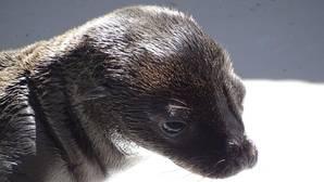Nace un ejemplar de león marino en el Oceanogràfic de Valencia