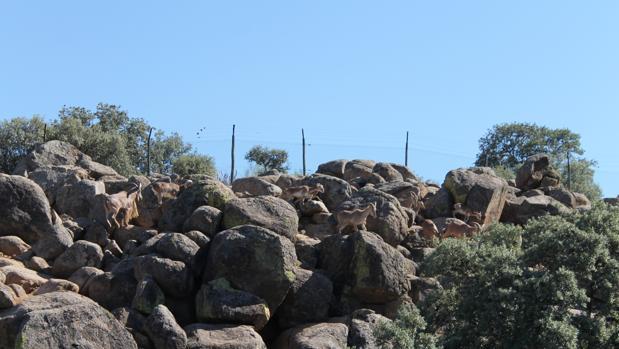 Cabras montesas, entre la fauna del Borril