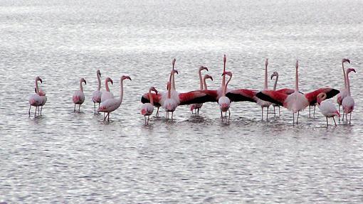 Flamencos en el parque natural de las Salinas de Santa Pola