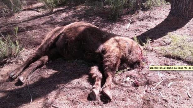 El bisonte decapitado en la reserva valenciana