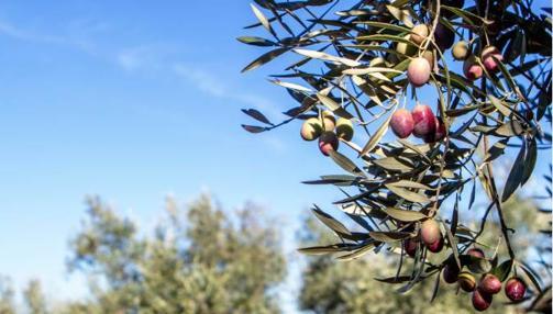 Imagen de uno de los cultivos de los que procede el aceite de Oliva de Mercadona