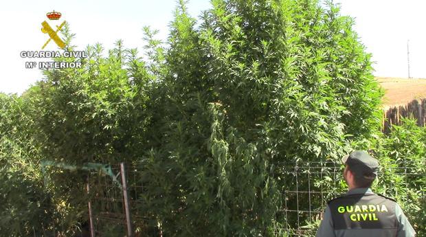 Un agente observa las plantas de marihuana