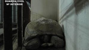 Encuentra una tortuga de 40 kilos en la carretera