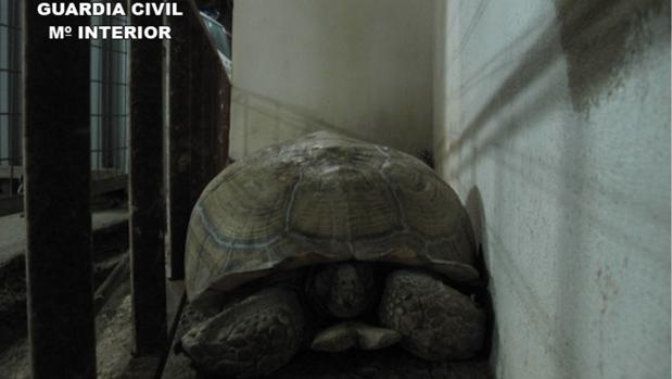 El ejemplar de tortuga leopardo macho hallado en la carretera en Bigastro