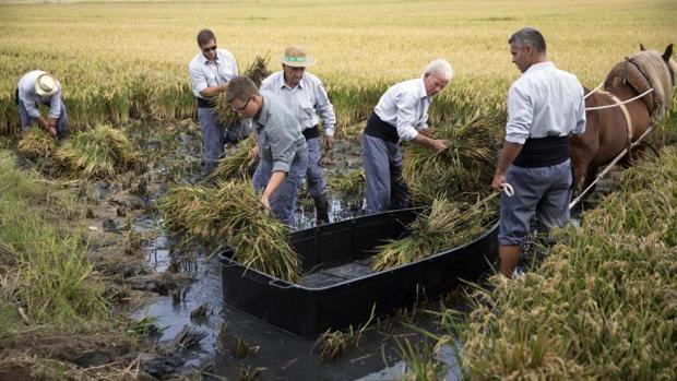 Un momento de la siega del arroz en La Albufera, este domingo