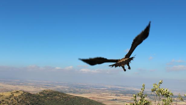 Uno de los ejemplares vuela tras ser liberada