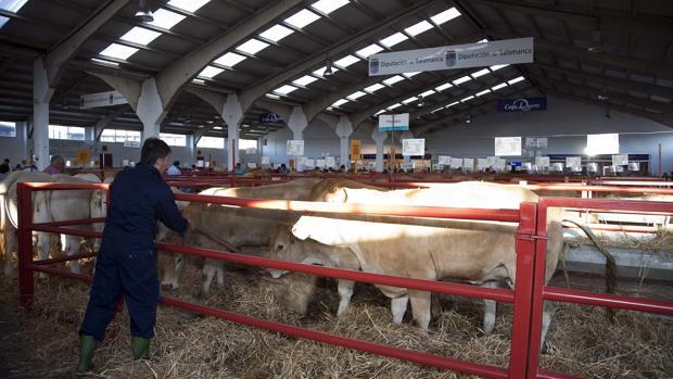Feria de ganado de Salamanca