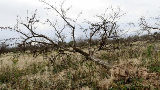 Árbol muerto por la sequía en la zona del Campo de Elche