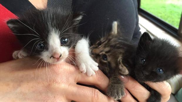 Tres gatos de Lanzarote que, tras ser atropellada su madre, han sido atendidos por la asociación 9Lives