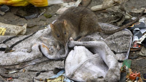 Una rata roe un pedazo de tela, en mitad de la basura