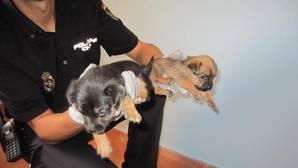 Cae una banda que vendía cachorros de perro por internet que dejó que varios murieran