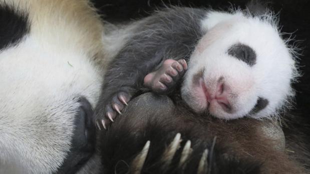 La cría de oso panda nacida el pasado 30 de agosto en el Zoo de Madrid