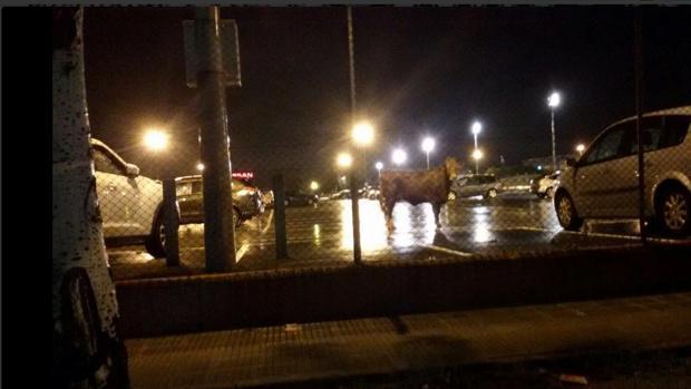 La vaca, en el aparcamiento de Nissan