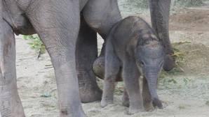 Nace una cría de elefante asiático en peligro de extinción en el Zoo de Madrid