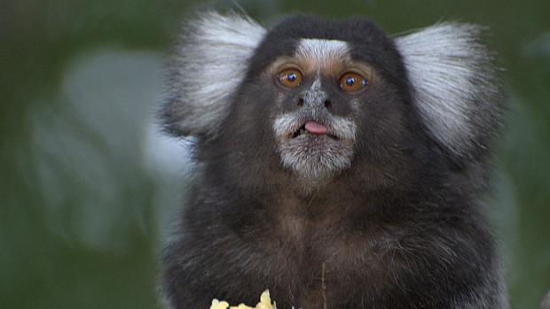 Un mono títi en el Parque da Independença, Sao Paulo