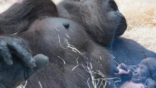 La gorila Yangú y su cría