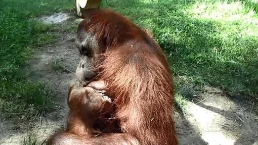 La orangután Surya junto a su cría