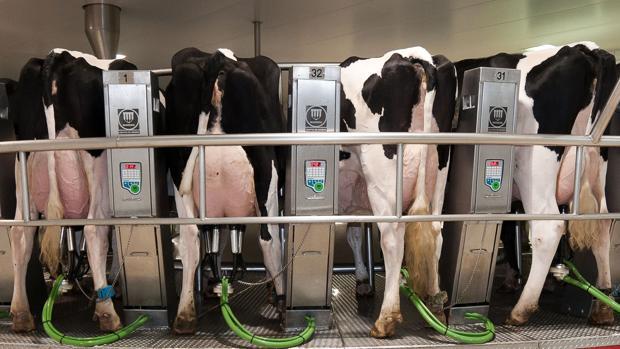 Vacas de granja, durante el proceso diario de extracción de leche