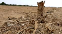 Árbol seco en el Campo de Elche