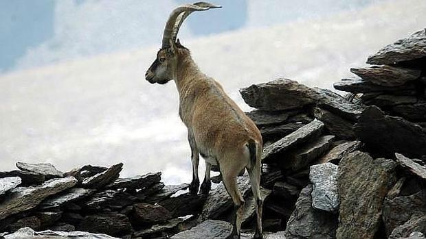 Un ejemplar de cabra montés